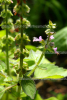 Basilikum Tulsi-Süd (3 ml)