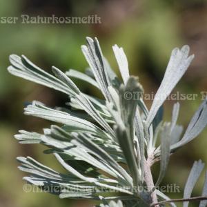 Beifuß - Wüsten-Beifuß (1 ml)
