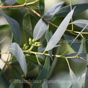 Eukalyptus macul (5 ml)