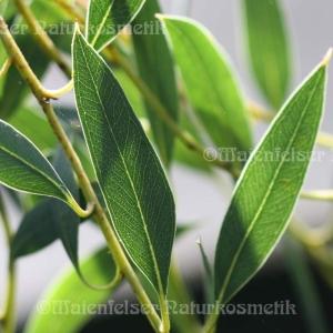 Eukalyptus maca (5 ml)