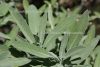 Salbei spezial Bio - Spanien (10 ml)