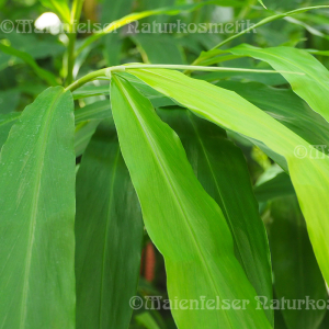 Cardamom - Afrika-Cardamom (Blätter) (5 ml)