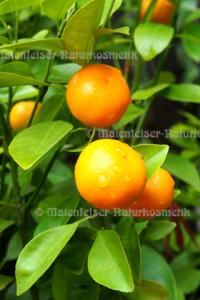 Mandarine - Kumquat-Mandarine (5 ml)