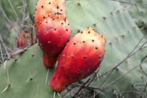 Kaktusfeigenkernöl BIO
