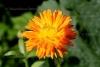 Calendula abs. (2 gr)