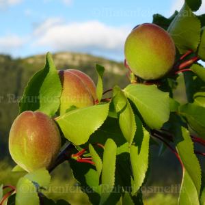 Aprikosenkernöl BIO