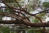 Eukalyptus wild (2 ml)