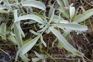 Salbei wild (2 ml)