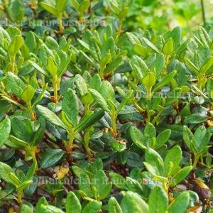 Rhododendron Bio (5 ml)