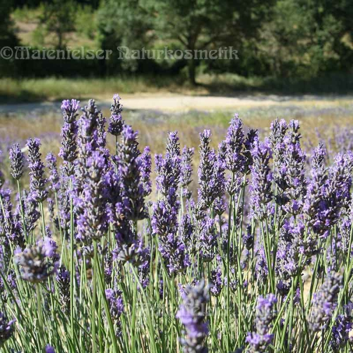 Lavendel normal