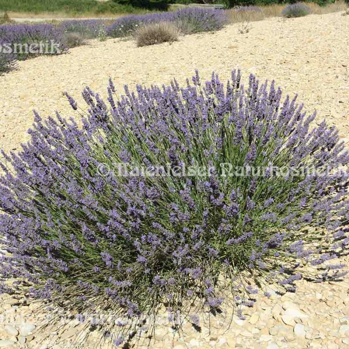 Lavendel normal 100 ml