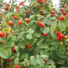 Rosenöl fett BIO - Hagebuttenkernöl