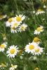 Kamille römisch BIO (1 ml)