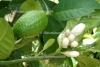 Grapefruit Petitgrain (5 ml)