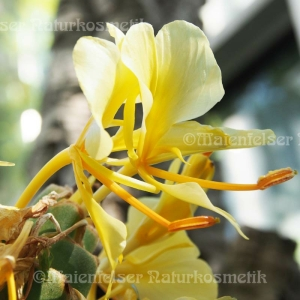Ingwer - Schmetterlingsingwer (Khili Ingwer) (3ml)