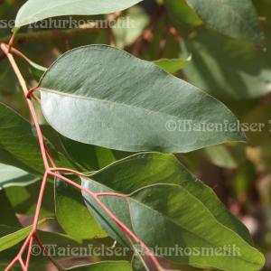 Eukalyptus - Erdbeer Eukalyptus (3ml)