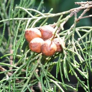 Zypresse Emerald-Zypresse (3 ml)