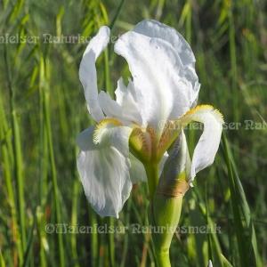 Iriswurzel CO²  fine (1 ml)