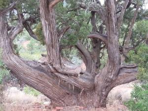 Wacholder - Arizona Juniper  (2 ml)