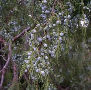 Wacholder - Rocky Mountain Juniper (2 ml)
