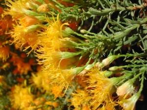 Goldenbush (Larch Leaf) (1ml)