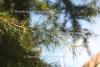 Cedernholz Ur (10 ml)