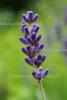Lavendel bulgarisch BIO (10 ml)