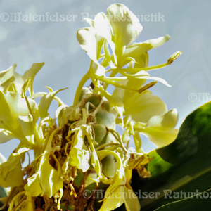 Ingwer - Schmetterlingsingwer extra mada. (2ml)