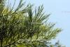 Mammutbaum-Zweige/Nadeln (2 ml)