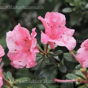 Rhododendron, sibirisch (1ml)