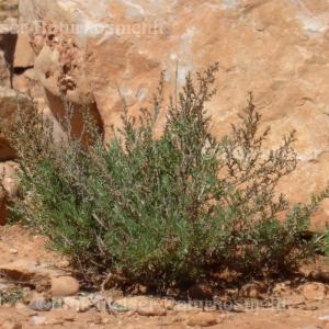 Beifuß - Wüsten-Beifuß fine (5ml)