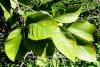Zitronenblätter (Zitronen-Petitgrain) (5 ml)
