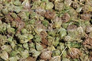 Karottensamenöl oriental BIO (3 ml)