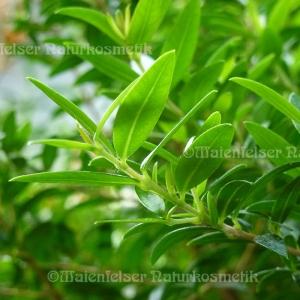 Myrtenblätter (10 ml)