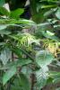 Ylang-Ylang complete BIO (5 ml)