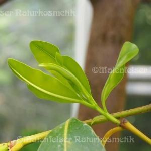 Calophyllumöl BIO (Forahaöl) (50 ml)
