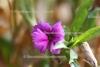 Carnation abs. (Gartennelke) (1 ml)