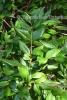 Myrtenblätter grün BIO (3 ml)