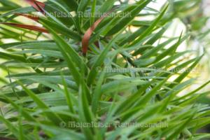 Araukaria (1 ml)