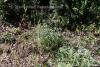 Lavendel 1a wild 1200 m Höhe (3 ml)